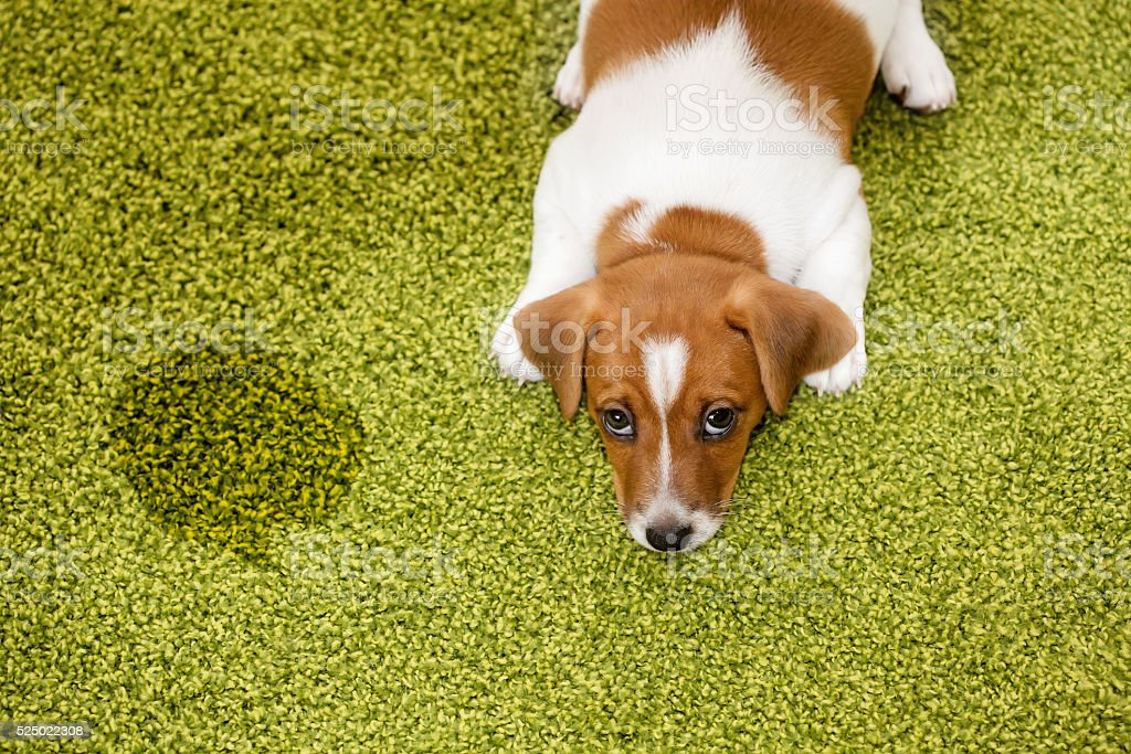 Puppy lying on a carpet and looking up guilty. stock photo