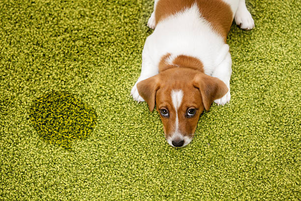 Puppy lying on a carpet and looking up guilty. – Foto