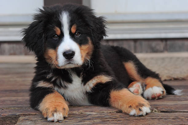 Puppy lying on deck A cute Bernese Mountain dog puppy lies on the old wood of a cottage deck. newborn animal stock pictures, royalty-free photos & images
