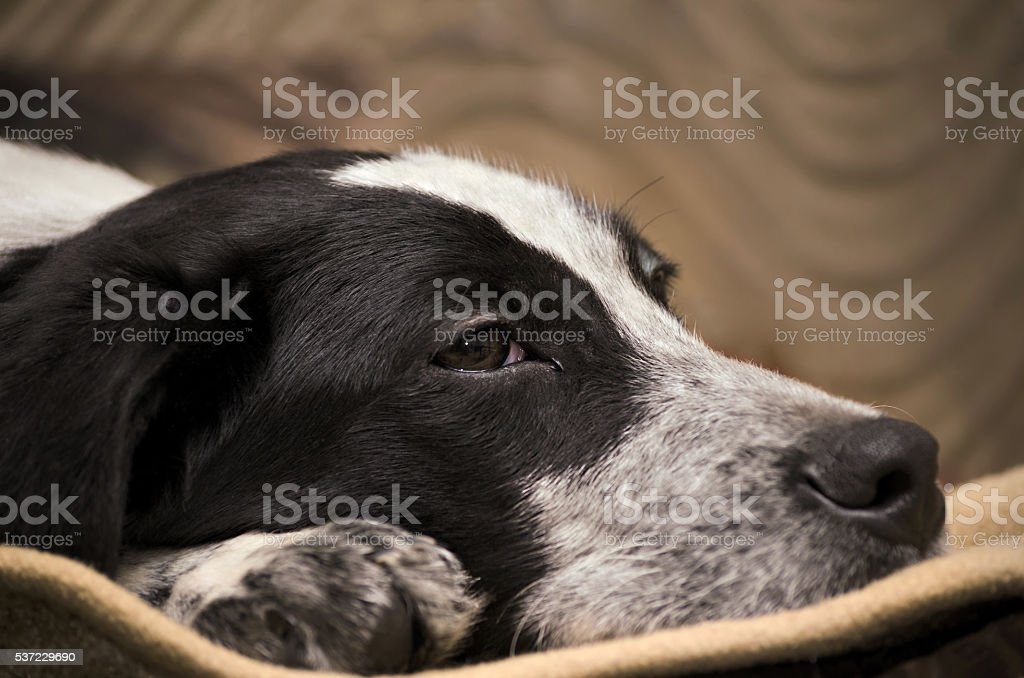 Puppy lying on the floor, close-up stock photo
