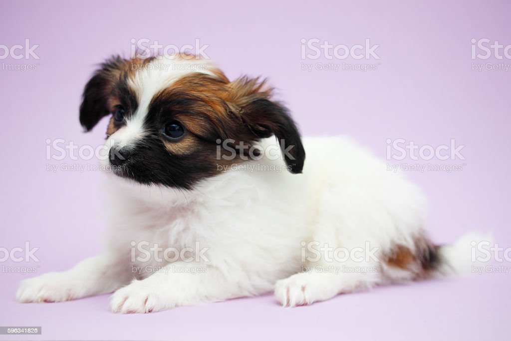 Puppy lying Lizenzfreies stock-foto