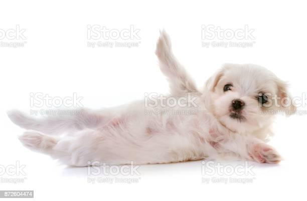 Puppy maltese dog picture id872604474?b=1&k=6&m=872604474&s=612x612&h=fj8  5v27arqv3wmlg6iek xkpz2uvtcaiplrwpd zc=