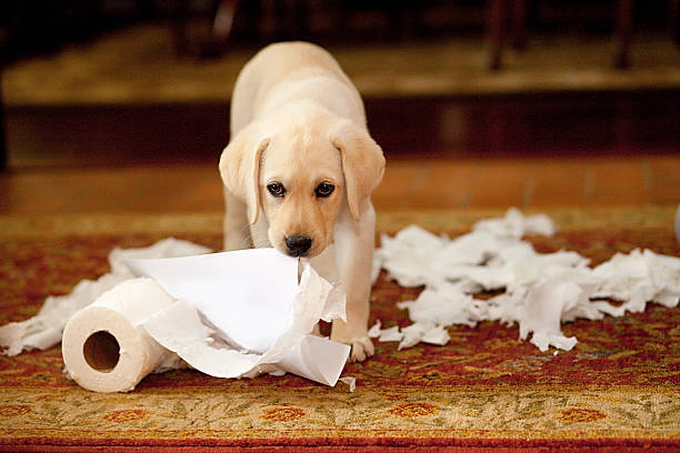 Puppy mess picture id498630561?b=1&k=6&m=498630561&s=612x612&w=0&h=a8fxbdbf5wng41miygoxmjybabgx92jtp2are4kpdos=