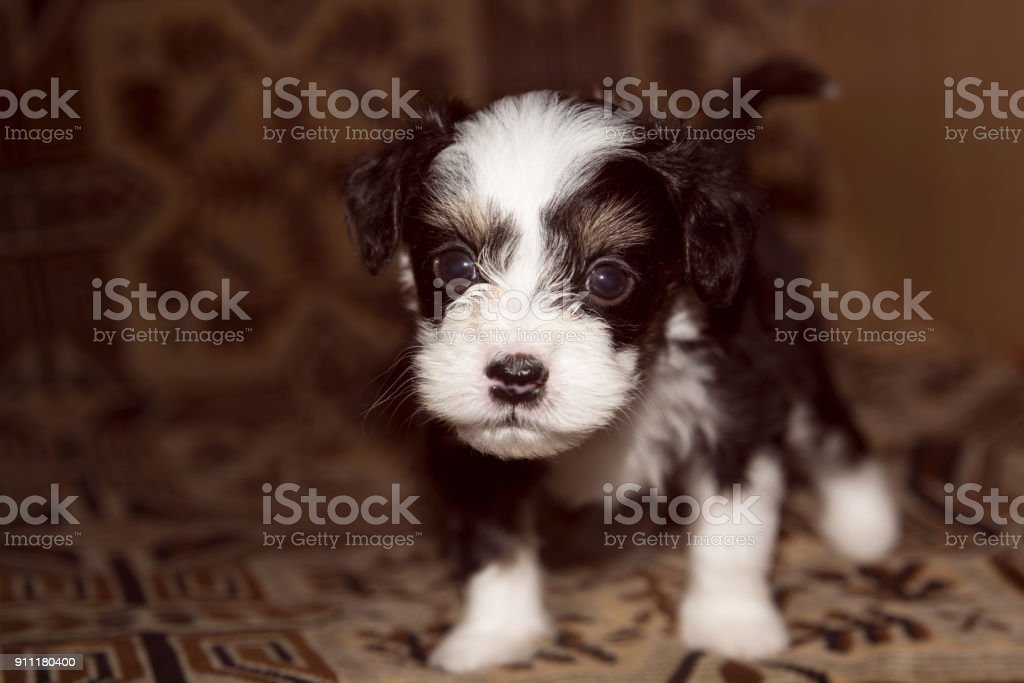Bed 180 Breed.Puppy Miniature Lies On The Bed Funny Little Dog Looking In Camera Stock Photo Download Image Now
