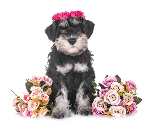 Puppy miniature schnauzer picture id1035970976?b=1&k=6&m=1035970976&s=612x612&w=0&h=wit scovlxnc0q5cqd1qdnprwvcgikiclpj1uu7rleq=