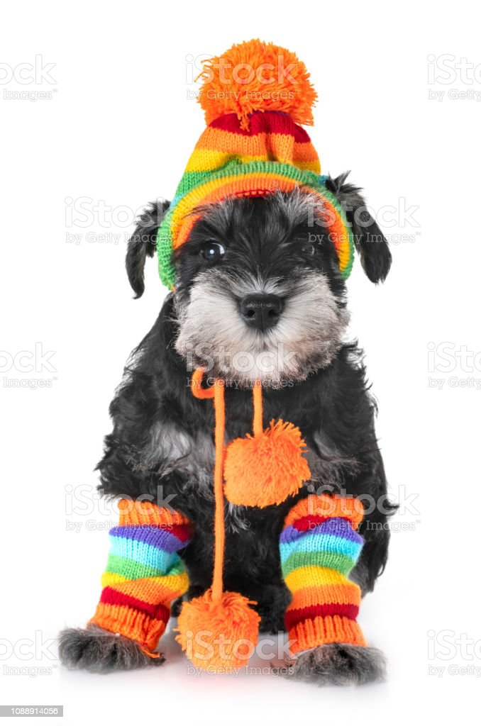 Puppy Miniature Schnauzer Stock Photo Download Image Now Istock