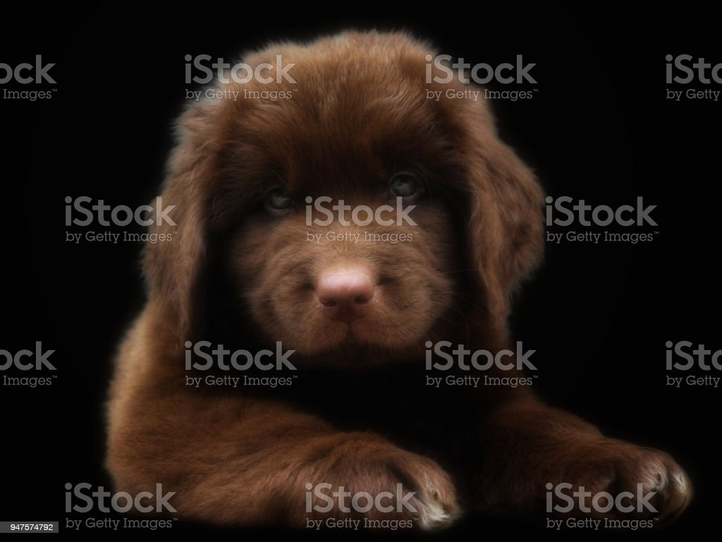 Puppy Newfoundland Dog Stock Photo More Pictures Of Animal Istock