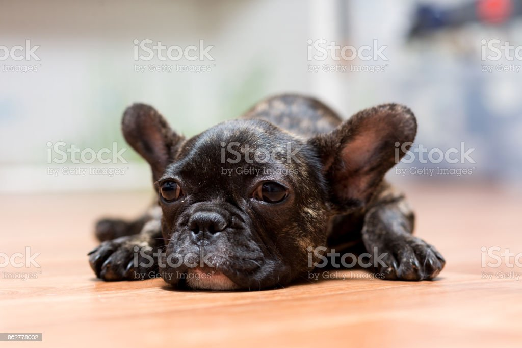 puppy of a French bulldog at the age of 4 months lies on the floor stock photo