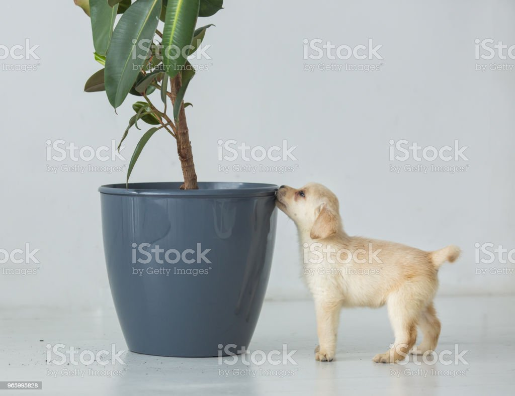 Puppy of a labrador near a pot with a house plant - Royalty-free Animal Stock Photo