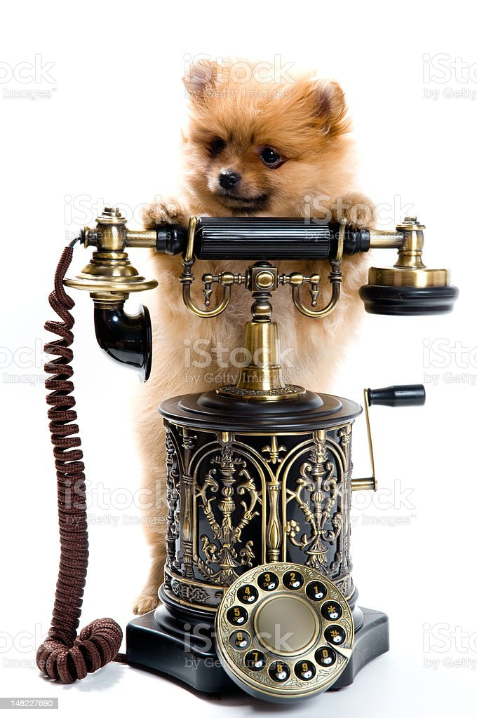 Puppy of a spitz-dog with phone royalty-free stock photo