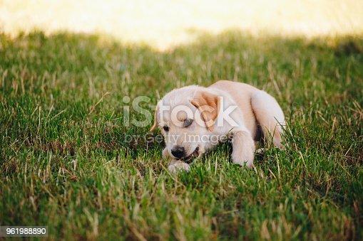 Puppy of a white, pale labrador retriever on green grass in a park in a black collar.