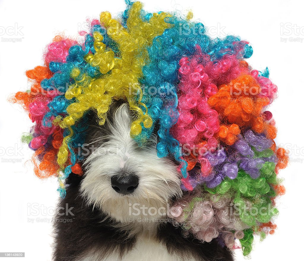 Puppy of bearded collie wearing a clown's wig royalty-free stock photo