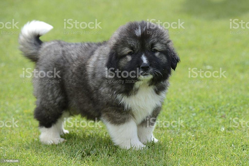 puppy of Caucasian Shepherd royalty-free stock photo