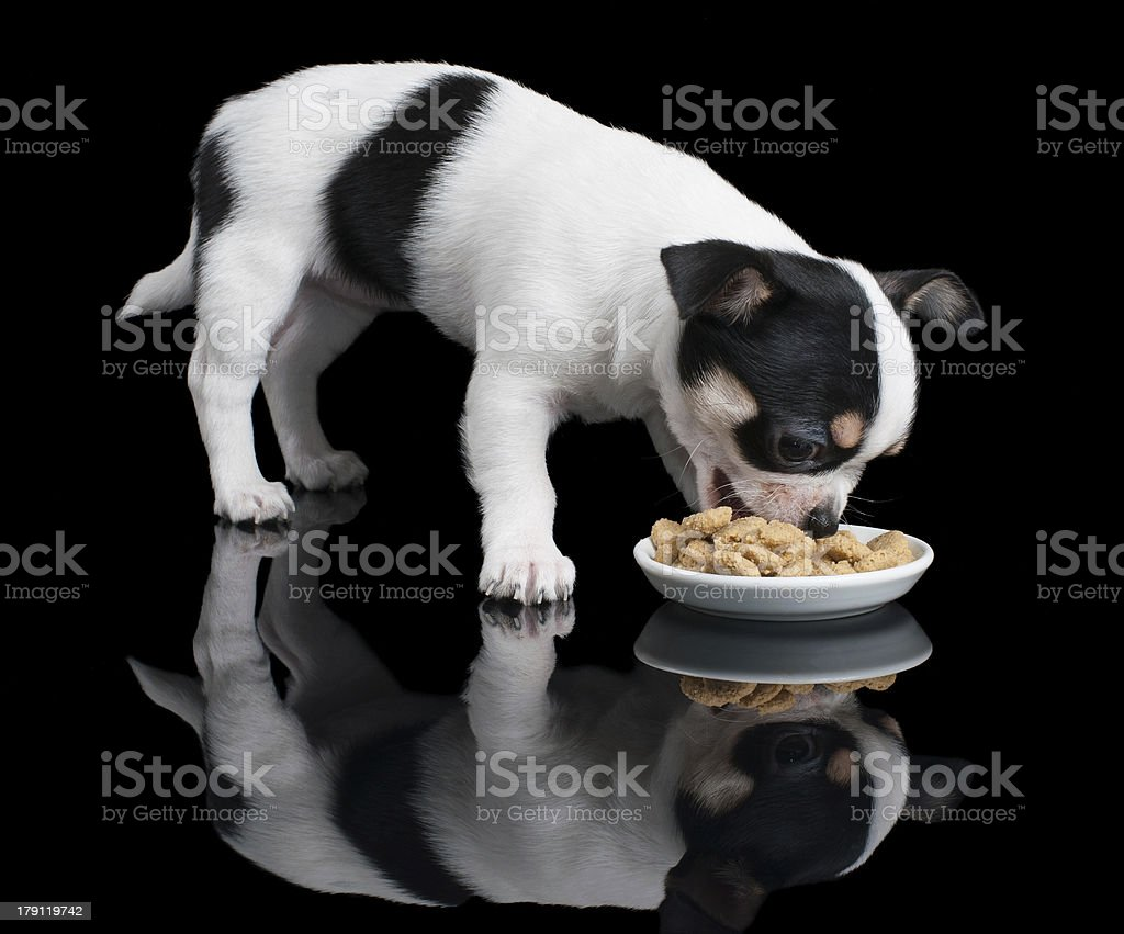 Puppy of Chihuahua eats dog food royalty-free stock photo
