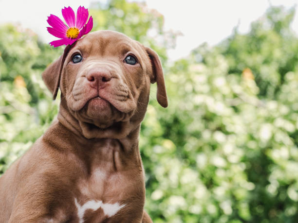 Puppy of chocolate color and bright flower Pretty puppy of chocolate color with a bright flower on his head on a background of blue sky on a clear, sunny day. Close-up, outdoor. Concept of care, education, obedience training, raising of pets female animal stock pictures, royalty-free photos & images