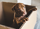 Cute puppy of chocolate color standing on hind legs in a cardboard box. Close-up, indoor. Concept of care, education, obedience training, raising of pets