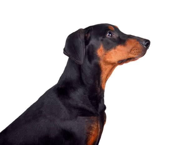 Puppy of doberman picture id1161782671?b=1&k=6&m=1161782671&s=612x612&w=0&h=4lpom d4jaivjcx7eu5rg3lsvpthz48z19mhkecqc9o=