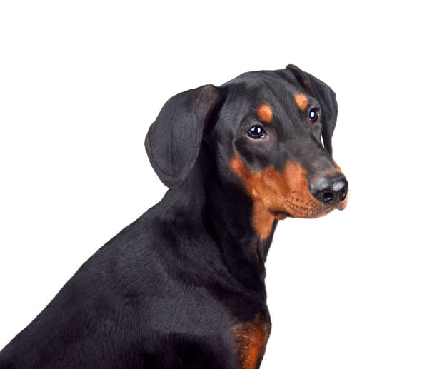 Puppy of doberman picture id1161782674?b=1&k=6&m=1161782674&s=612x612&w=0&h=v6ncmn8c7hbpxa4 b60dwqvl85ap8lfu035txaczfeo=