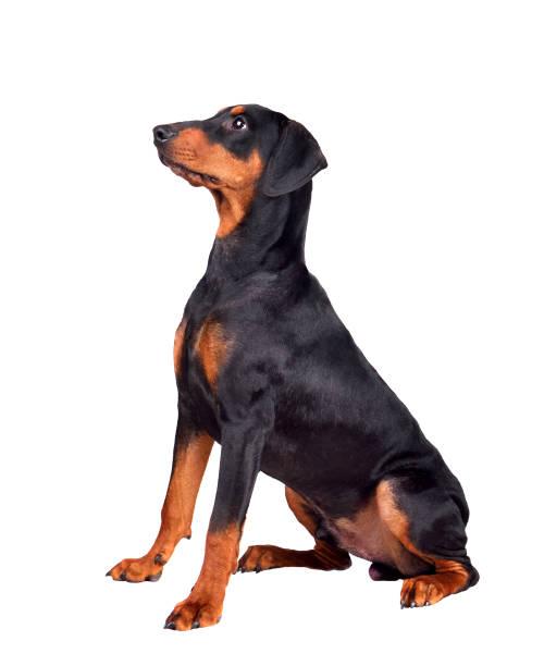 Puppy of doberman picture id1161782678?b=1&k=6&m=1161782678&s=612x612&w=0&h=aiobhf dcmizdncwqnp4z433ttlktgixgc3qkf0lhzi=