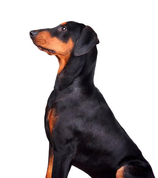 Puppy of doberman picture id1161782682?b=1&k=6&m=1161782682&s=612x612&w=0&h=vzq 8i23qksrnt1sys9zxzdyi5t45welr5tbbldojtq=