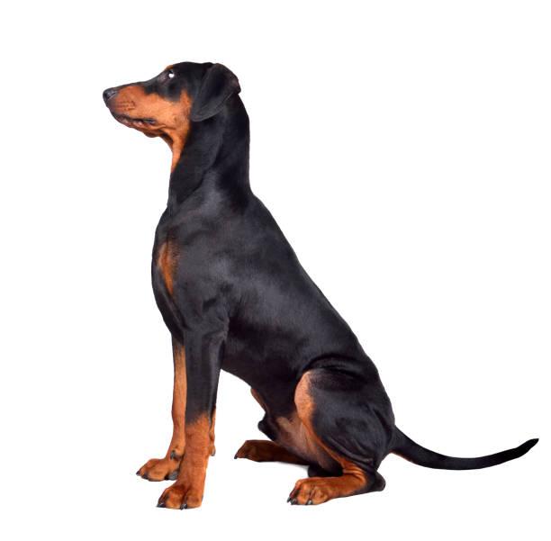 Puppy of doberman picture id1161782683?b=1&k=6&m=1161782683&s=612x612&w=0&h=1gujbkowlgloxerjpncxhugc ygvzybykucma0shzb8=
