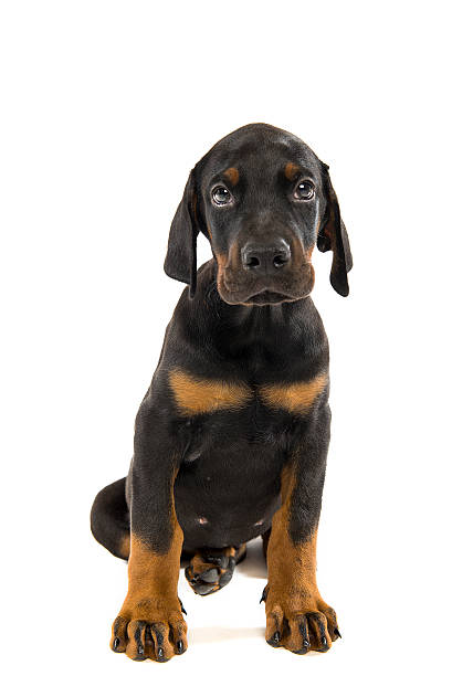 Puppy of doberman pinscher stock photo