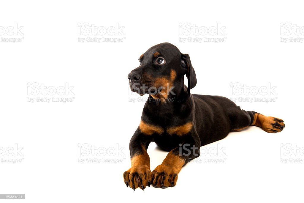 Puppy Of Doberman Pinscher Stock Photo Download Image Now Istock