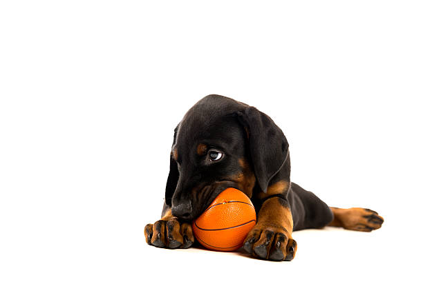 Puppy of doberman pinscher playing with ball stock photo