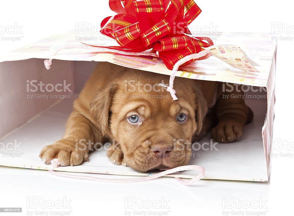 Puppy of Dogue de Bordeaux (French mastiff) in a bag royalty-free stock photo