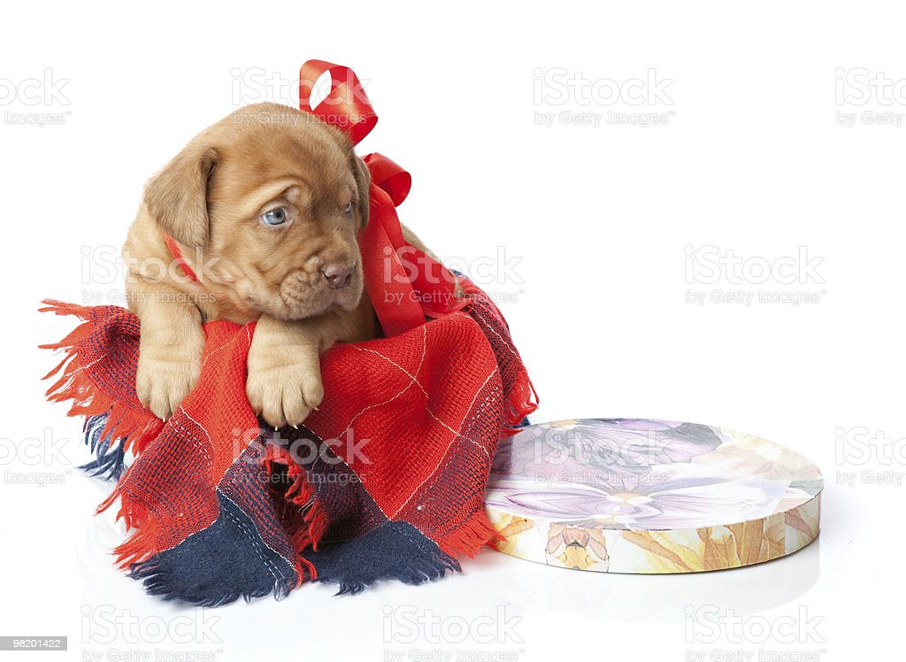 Puppy of Dogue de Bordeaux (French mastiff) royalty-free stock photo