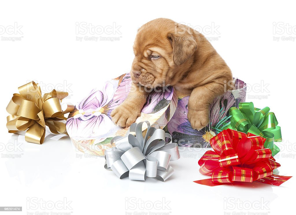 Cucciolo di Dogue de Bordeaux (Dogue de Bordeaux) foto stock royalty-free