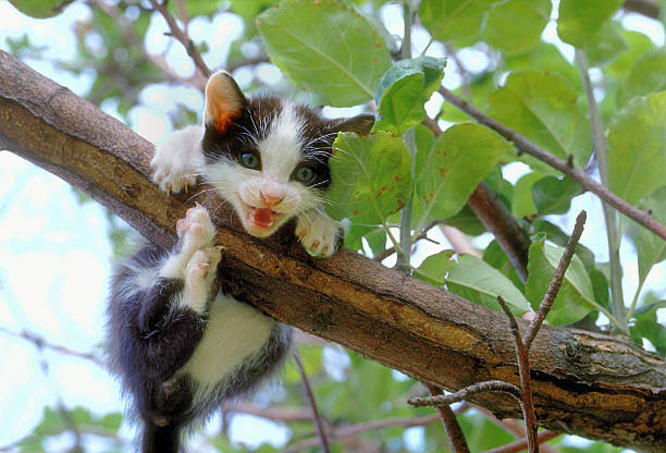 Puppy of european black and white cat on a branch stock photo