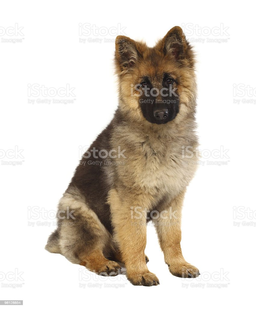 puppy of german shepard royalty-free stock photo