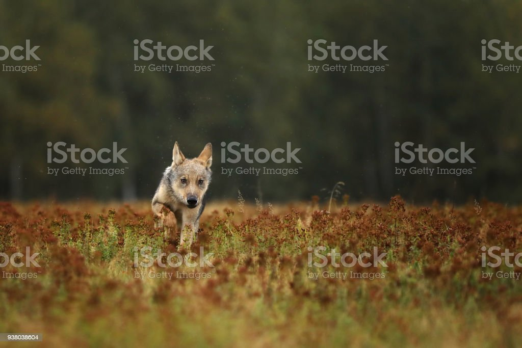 Puppy of Grey wolf running on colorful meadow - Canis lupus stock photo