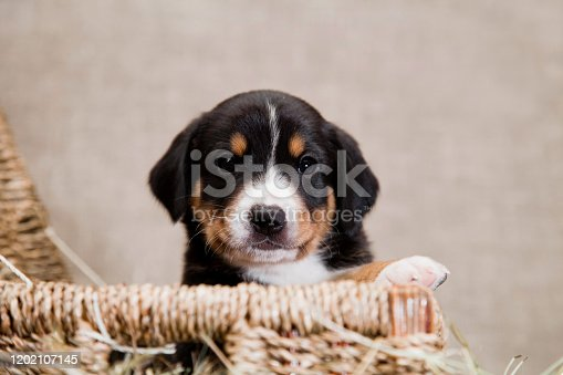 A black and red tan and white-breasted puppy of Swiss breed Entlebücher Sennenhund peeps from a basket indoors on a burlap in the studio