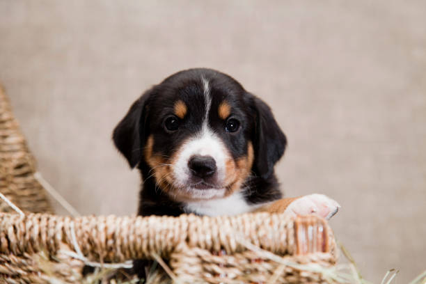 puppy of Swiss breed Entlebücher Sennenhund peeps from a basket indoors on a burlap in the studio A black and red tan and white-breasted puppy of Swiss breed Entlebücher Sennenhund peeps from a basket indoors on a burlap in the studio cub stock pictures, royalty-free photos & images