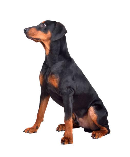 Puppy of tanandblack german pinscher picture id1195279661?b=1&k=6&m=1195279661&s=612x612&w=0&h=f2hatjmyhm6 awqepakdjdn5z2 zz7 s8mm0kuileem=