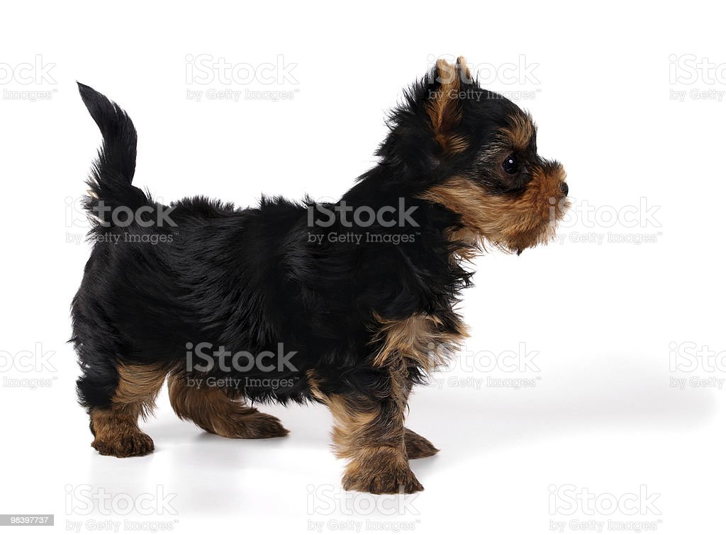 Puppy of the Yorkshire Terrier royalty-free stock photo