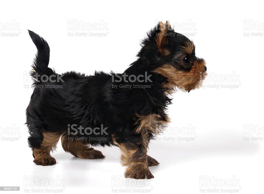 강아지 의 요크셔테리어 royalty-free 스톡 사진