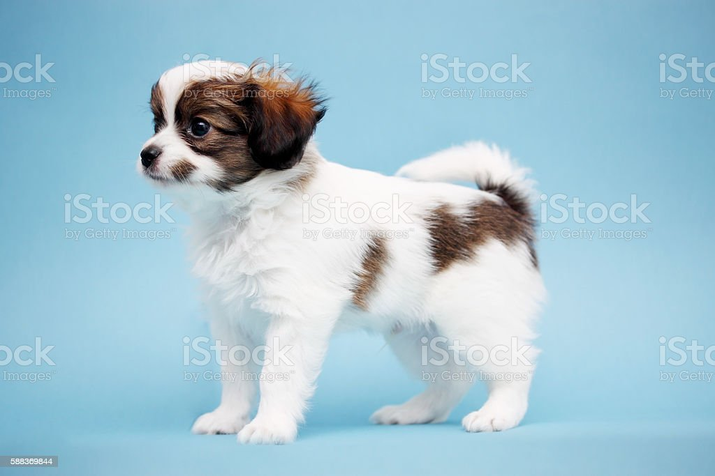 Puppy on a blue background stock photo