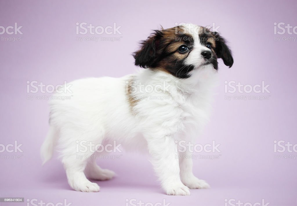 Puppy on a violet background Lizenzfreies stock-foto