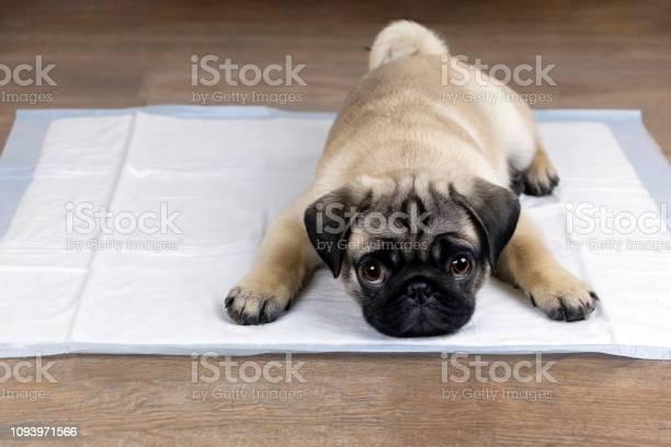 Puppy on absorbent litter picture id1093971566?b=1&k=6&m=1093971566&s=612x612&h=mpguvg5ov6l3 dpwlpepnhniqpjxrw5jlymgu6jjhog=
