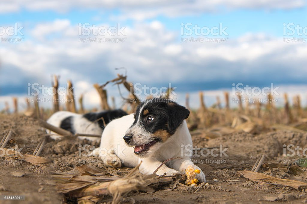 Puppy on harvested corn field in front of clouds stock photo