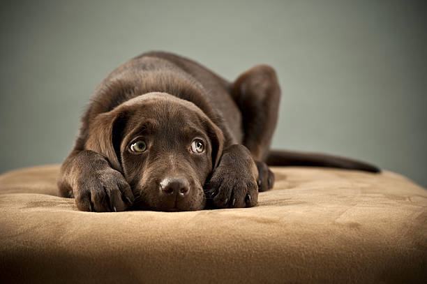 puppy on ottoman - fear stock photos and pictures