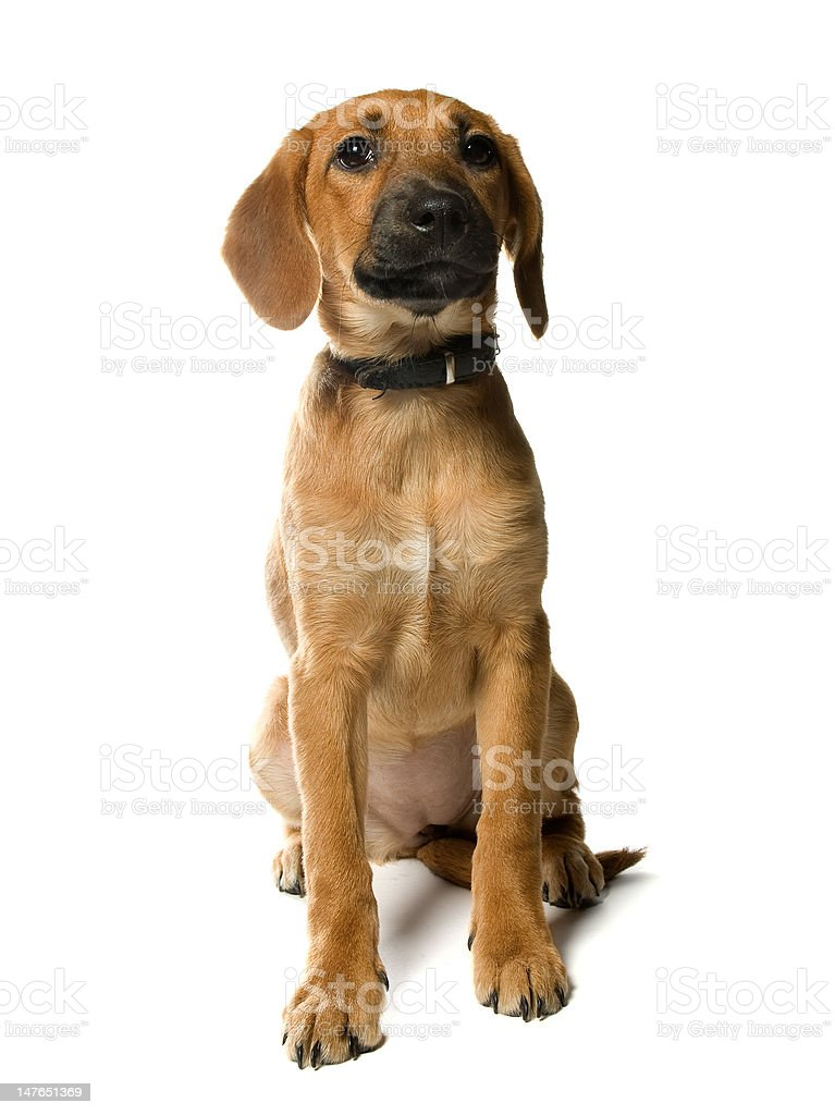 puppy on white royalty-free stock photo
