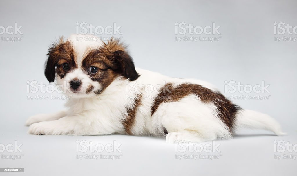 Puppy Papillon on a gray stock photo