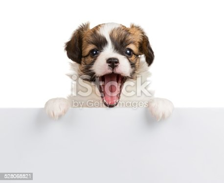 istock Puppy Papillon with open mouth 528068821