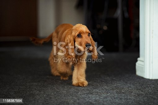 A cocker spaniel puppy is walking through the office looking carefree and confident.