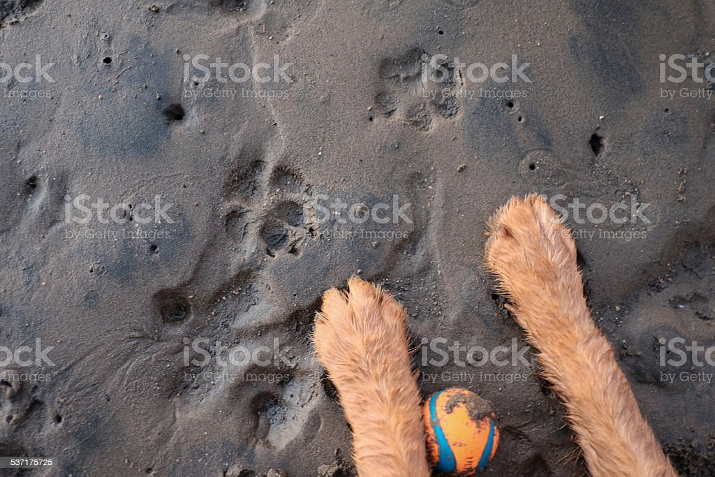 Puppy paws, ball and paw prints on the wet sand stock photo