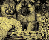 Pedigree puppy dogs in basket, animals and pets